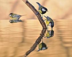 cinciallegra nell'acqua. foto