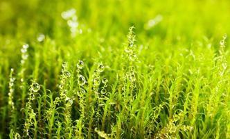 muschio verde e gocce d'acqua