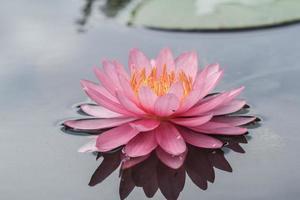 ninfea rosa in stagno