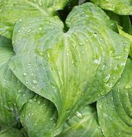 piantaggine giglio dopo la pioggia