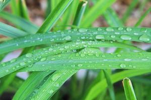 gocce d'acqua sulle foglie di citronella