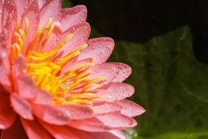 ninfea rosa