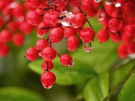 goccia d'acqua dalle bacche rosse foto