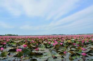 fiori di loto nel lago