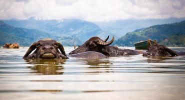 bufali d'acqua rinfrescanti nel lago di fewa, nepal.