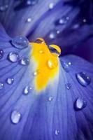 iris blu con gocce d'acqua