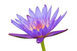 giglio di acqua viola isolato su sfondo bianco