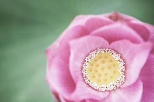 primo piano del fiore di loto rosa, Cina