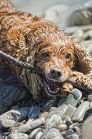 cucciolo cocker spaniel giocando in acqua