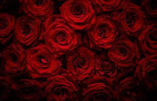rose con gocce d'acqua foto