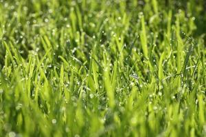 gocce d'acqua sull'erba verde - dof poco profondo