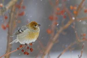 femmina di grosbeak di pino in crabapples colorati e neve