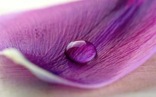 goccia d'acqua su un petalo viola