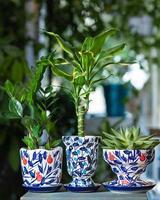 dracaena fragrans massangeana, gemma di zanzibar, succulenta foto