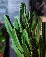 grande cactus da vicino foto