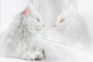 bellissimo gatto bianco foto