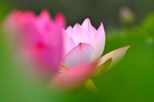 sbocciano i fiori di loto rosa