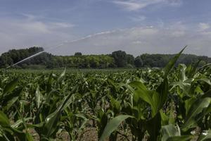 irrigatore di irrigazione nella piantagione di mais
