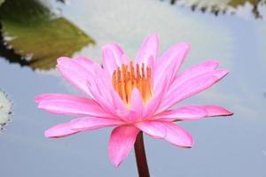 loto rosa perù peruano loto rosado