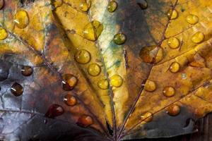 Close up di gocce d'acqua sulla foglia d'acero.