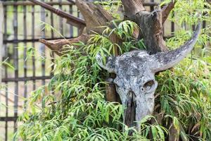 teschio di bufalo sull'albero foto