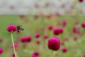falena dalle ali chiare sul globo amaranto o fiore di scapolo foto