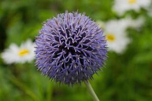 testa di fiore di echinops.