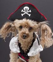 piccolo cane pirata foto