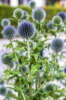 cardo selvatico blu del globo (echinops) nel giardino