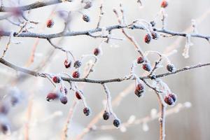 bacche rosse sui rami congelati ricoperti di brina