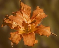 un lilly arancione a fuoco vivo su uno sfondo sfumato