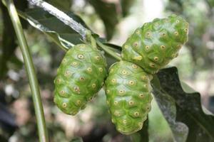 morinda citrifolia frutto