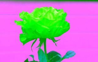 un fiore rosa su primo piano bianco