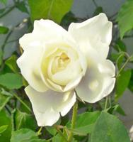 bella rosa bianca luminosa in giardino foto