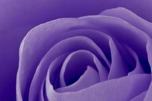 macro di rosa viola foto