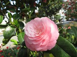 rosa rosa giappone - inizio di primavera foto