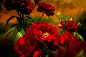 rose rosse foto