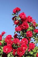 rosa rampicante foto