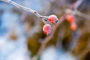 rosa canina rossa con ghiaccio in inverno foto