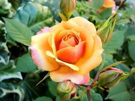 rosa in fiore foto