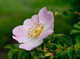 rosa selvatica (rosa canina)