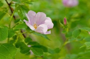 alberta rosa selvatica