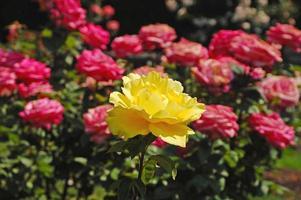 singola rosa gialla foto