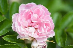 fiore rosa rosa foto
