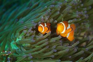 pesci pagliaccio foto