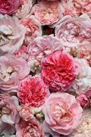 Rose. foto