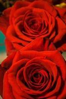due rose si concentrano sulla bella rosa ricca vicina
