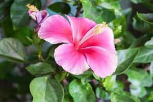 Close up di rosa rosa cinese in giardino foto