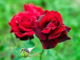 rose rosse che crescono nel giardino foto