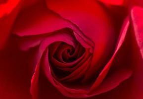 bella macro rosa rossa foto